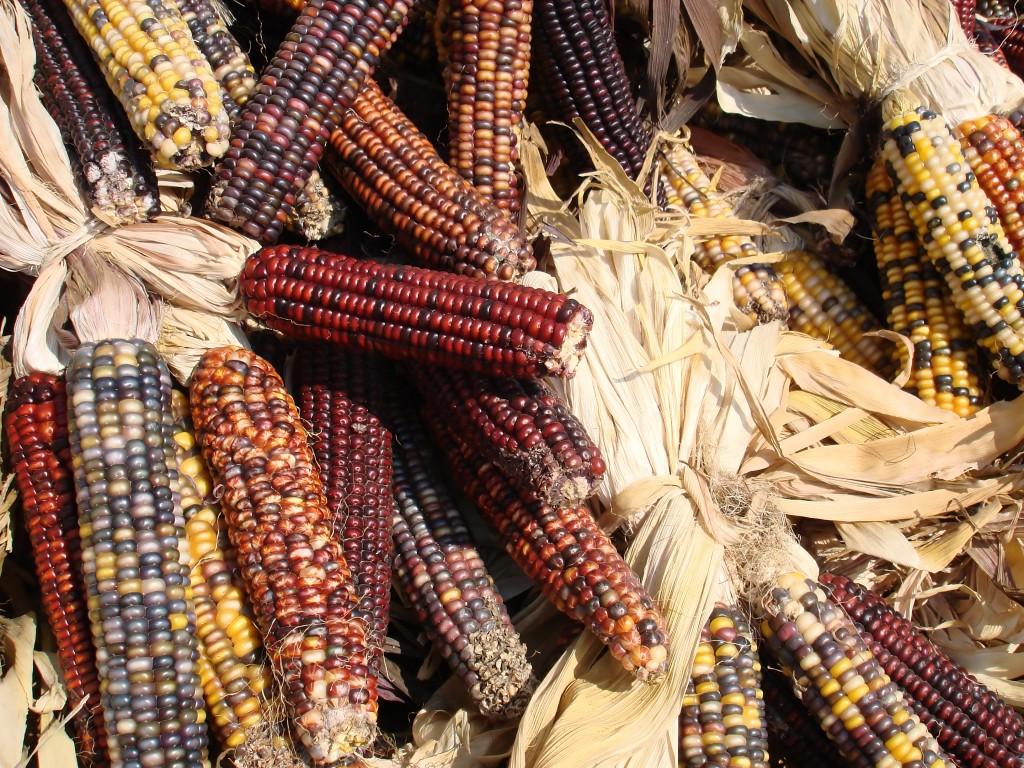 kukurydza wmeksyku
